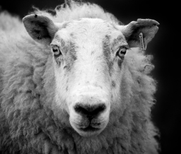 Ewe_sheep_black_and_white